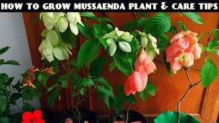 How to Grow Mussaenda Plant and Full Care Tips