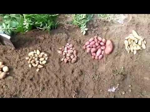 Картофель из семян . Результат.