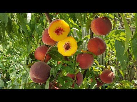 Персик Даймонд Принцесс / Peach Diamond Princess