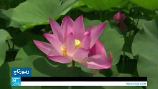 زهرة اللوتس.. رمز الكمال والنقاء لدى الصينيين