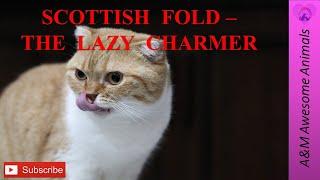 Scottish Fold  The Lazy Charmer