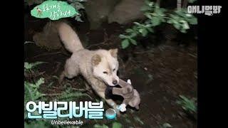 탐라를 호령하던 사냥견, 제주개☆ *더 알고싶은 토종개가 있나요? 댓글 ...