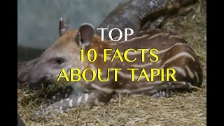 Top 10 Tapir Facts - Amazing True Facts About Tapirs