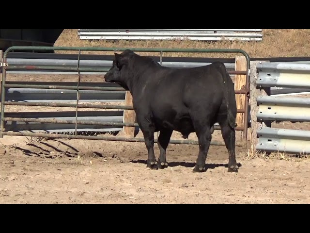 Connealy Angus Lot 26
