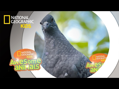 Pigeon Genius | Awesome Animals