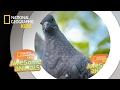 Pigeon Genius | Awesome Animals