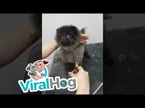 Matt - Dog Dances During Grooming