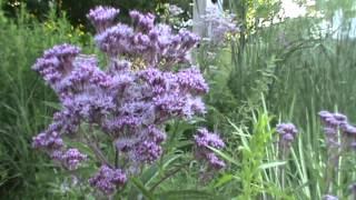 Minnesota Native Plant - Sweet Joe Pye Weed (eupatorium Purpureum)