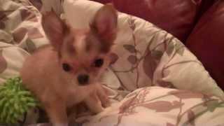 13 Week Old BENSON AKC Male Long Coat Chihuahua TeenyCHIS.com