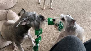 Schnuazers Are Barkers | Life With 7 Schnauzers