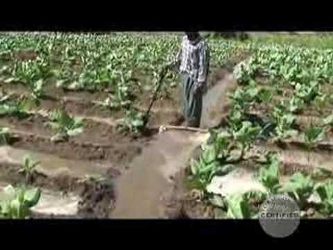 Canal Irrigation - Cigar Tobacco Plants