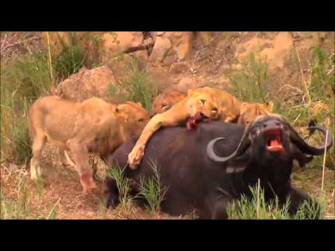 Image result for lions closing in on water buffalo