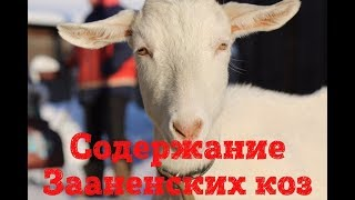 Ошибки при содержании коз // Зааненские козы