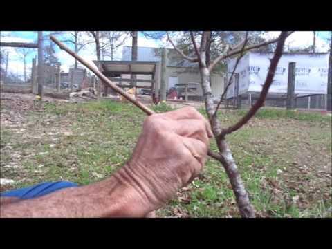 Grafting PLUM Trees ~~ DIY