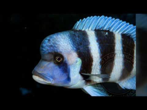 Keeping African Cichlids: Frontosa Cichlid