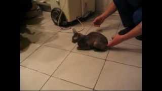 Кот с тромбоэмболией  Вялый паралич тазовых конечностей