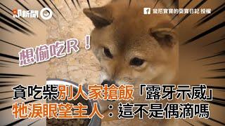 貪吃柴露牙示威搶飯 被劫柴淚眼望主人:這不是偶滴嗎?|寵物|柴犬|狗