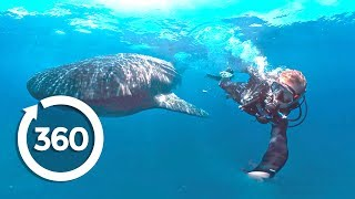 Whale Sharks: Giants of the Deep (360 Video)