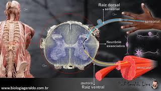 Sistema Nervoso 3 - Medula Nervosa