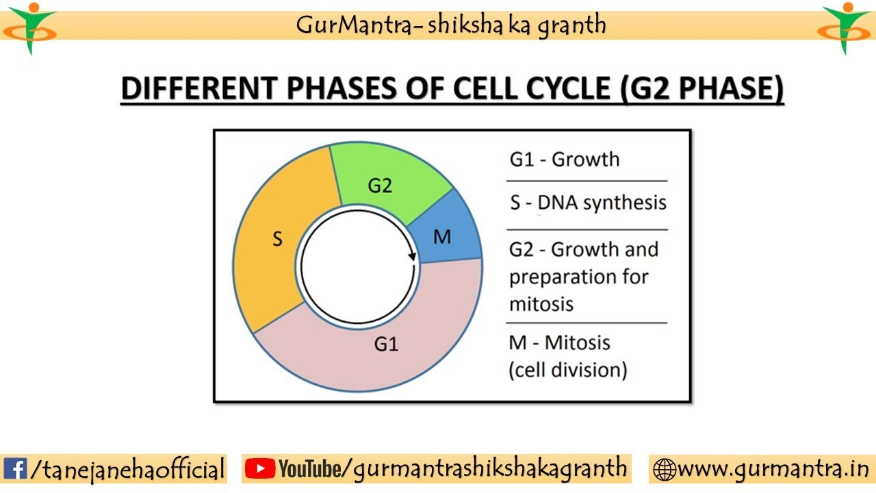 G2 Stage Of Cell Cycle Interphase Stages Of Cell Cycle