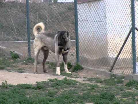 karabaş kangal köpekleri  sivas kangal köpek çiftliği