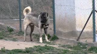 Karabaş kangal köpekleri , sivas kangal köpek çiftliği
