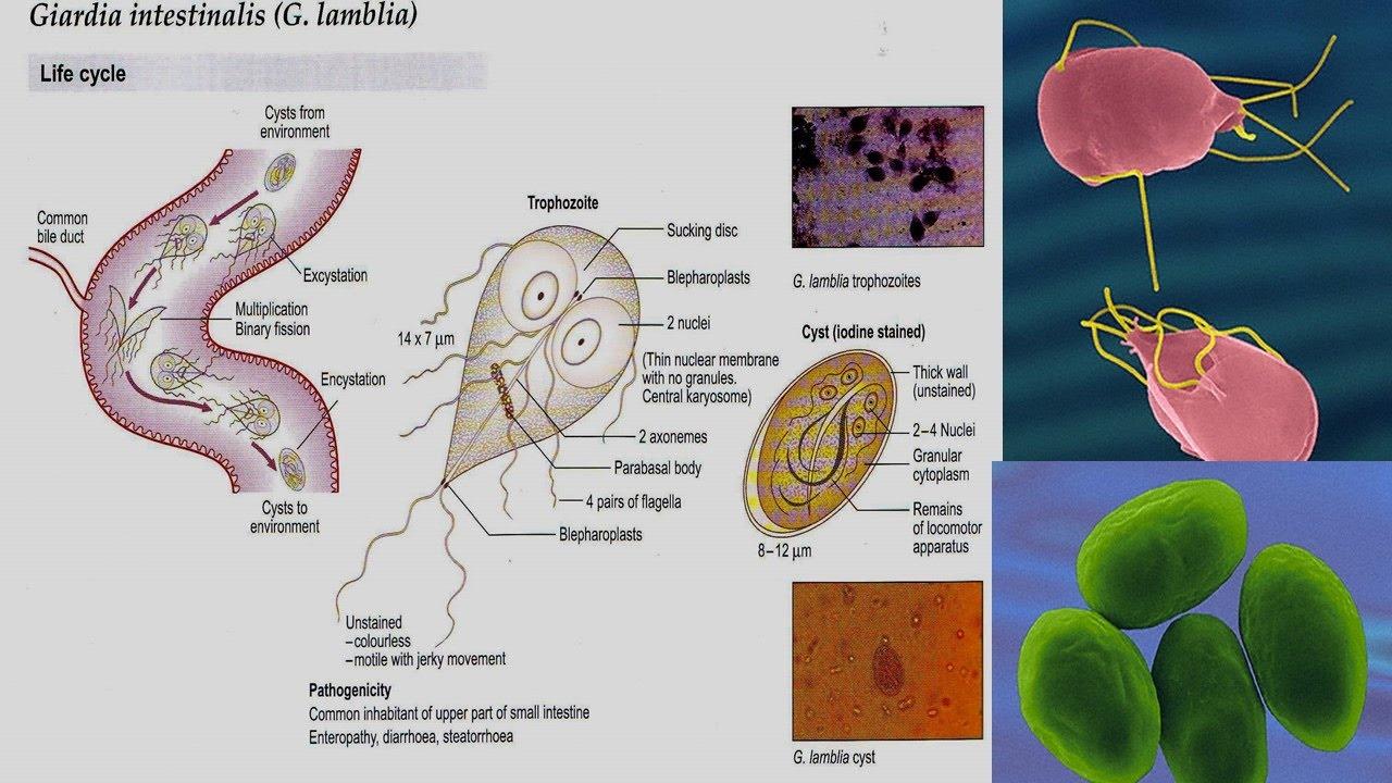 Giardia parasite humans. A gyermeknek hosszú féreg van