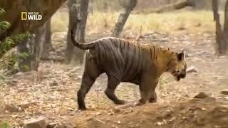 Хищники - убийцы. Тигр людоед. Документальный фильм National Geographic.