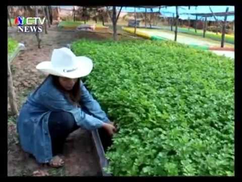 หนองคาย - ปลูกผักขึ้นฉ่ายไร้ดิน เป็นอาชีพเพื่อจำหน่ายหารายได้เลี้ยงครอบครัว