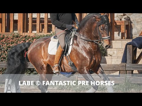 LABE - SCHOOLMASTER DRESSAGE HORSE · BOMBPROOF · PRE ANCCE