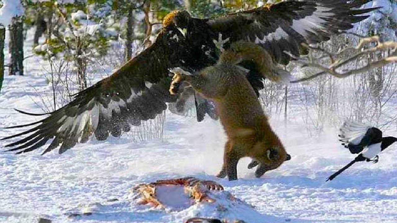 """Беркут - самый крупный орёл в деле! Самые эпичные битвы диких животных """"за 5 минут"""""""