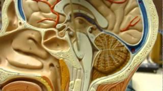 Human Brain Anatomy part 2