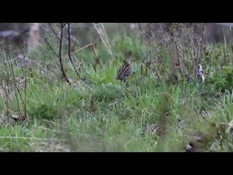 Great Snipe Lekking