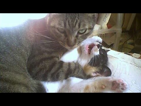 Really dangerous to hold your LAUGH –  FUNNY CAT VIDEO