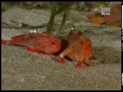 Red Handfish (Thymichthys Politus) From Tasmania - Courting And Spawning (laying Eggs)