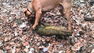 Dog Playing With Stick - Dogue De Bordeaux - Marley