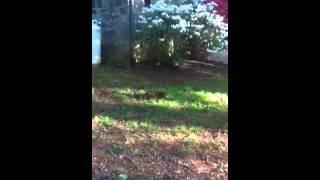 Bengal Cat Versus English Springer Spaniel 4 Month Puppy