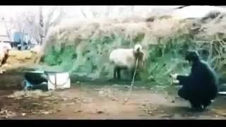 Бедный баран