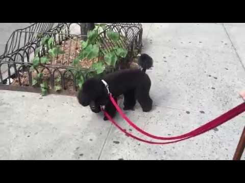 PRETTY POODLE ON THE STREETS OF NEW YORK!