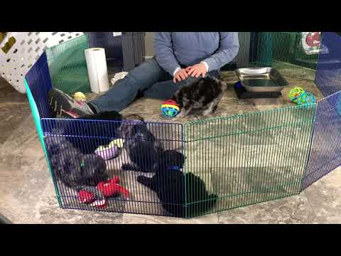 Ivy's schnoodle puppies 12/22/18