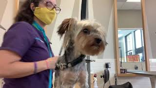 "Junior the Yorkie Puppy Gets ""Groomer's Choice"" Haircut"