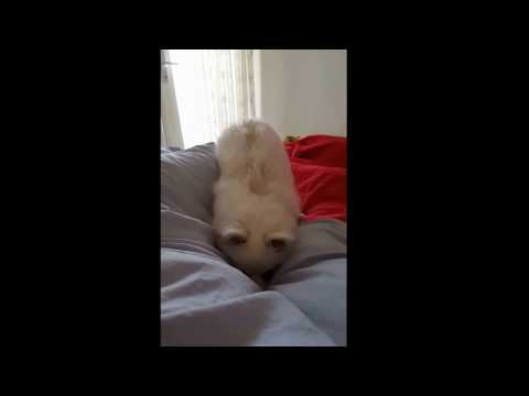 German Spitz: Dig in bed