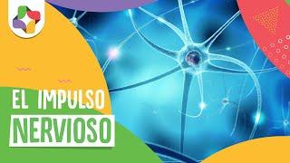 El impulso nervioso - Biología - Educatina