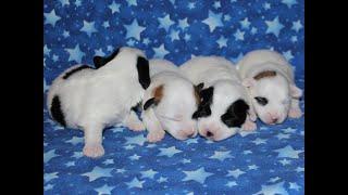 Coton de Tulear Puppies For Sale - Kiwi 9/16/21