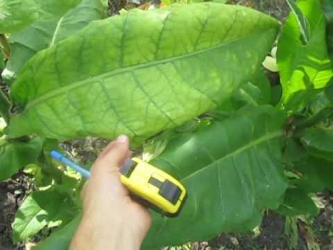 Обзор сорта Busak (Бусак) - купить семена табака