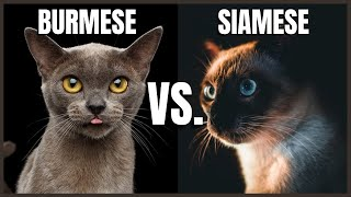 Burmese Cat VS. Siamese Cat