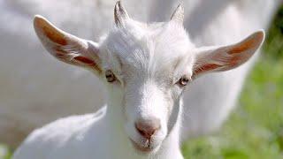 И за что их назвали КОЗЛАМИ? Мама коза с двумя козлятами! Поведение козлят когда мама рядом!