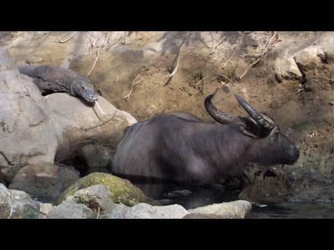 Life - Komodo Dragons Hunt Buffalo | Reptiles and Amphibians