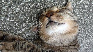 ひとなつこい地域猫シンちゃん Friendly Street Cat Shin-chan