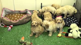 Little Rascals Uk Breeders New Litter Of Golden Cockapoo Babies - Puppies For Sale March 2015